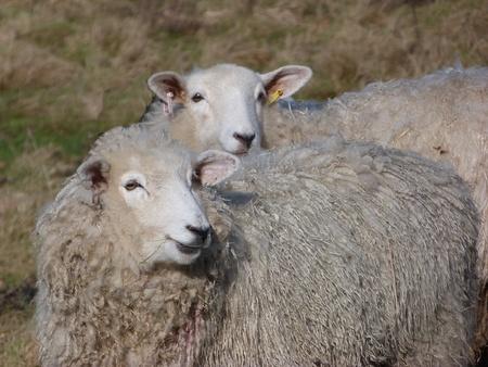 ewes: Romney Ewes