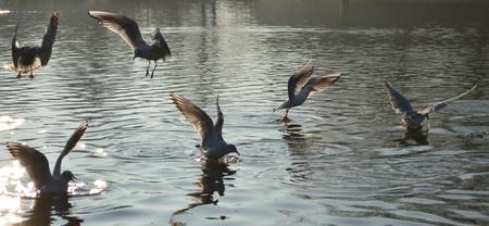 black headed: Black Headed Gulls in Winter Plumage