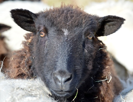 Face of a young Black Sheep photo