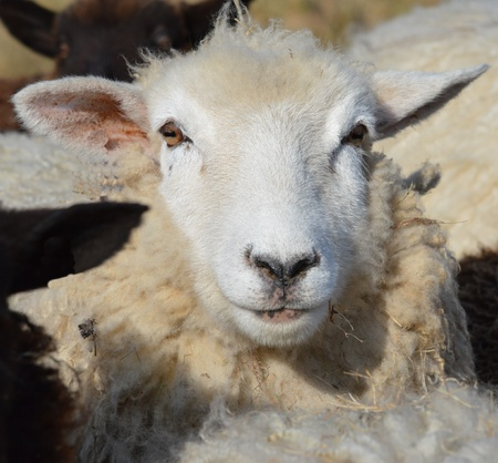 ewe: Face of a young Romney Ewe