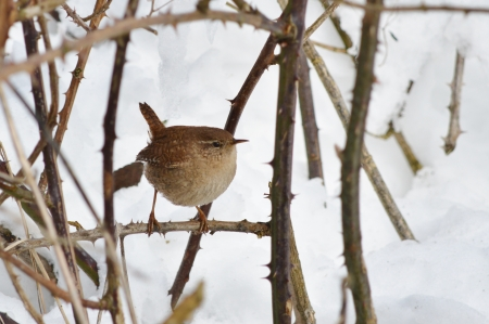 thryothorus: A Wren in the Bushes on a Snowy Day Stock Photo