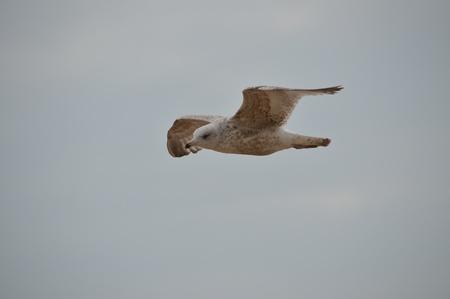 larus: Herring Gull   Larus Argentatus