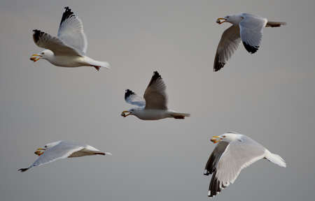 Composite of Herring Gull carrying Cockle photo