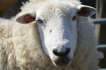 ovine: Face of a young Romney Ewe