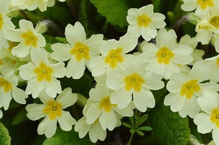 primroses: Wild Yellow Primroses