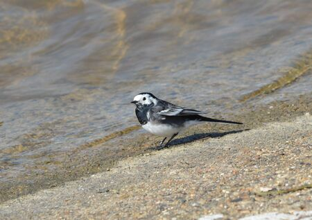 Pied Wagtail Stock Photo - 19715250