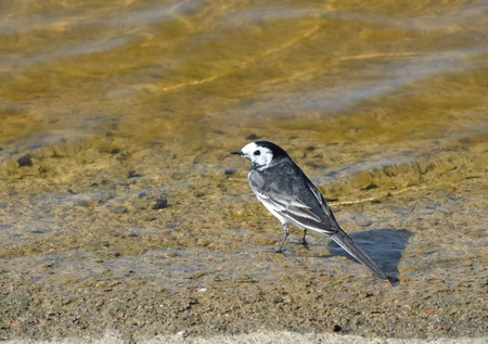 pied: Pied Wagtail