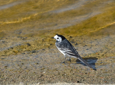 Pied Wagtail photo