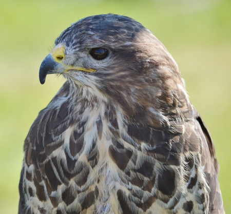 Head and Shoulders of a Buzzard  Buteo buteo  photo