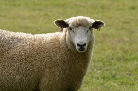A Romney Hogget (Young Sheep)