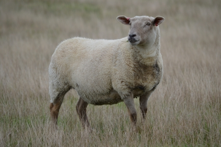 A sheep in an Autumn Meadow photo