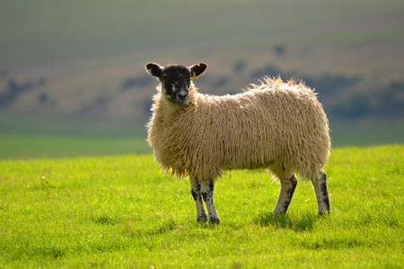 A Sheep on the Southdowns  photo