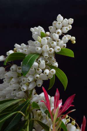 ericaceae:  White Pieris Flowers against a black Background