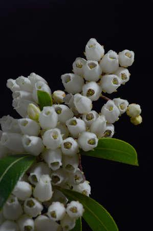 ericaceae: Pieris Flowers against a black Background Stock Photo