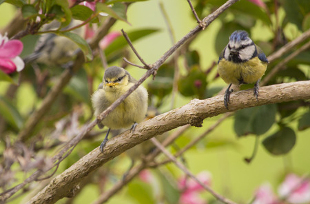 blue tit: Blue Tit with Young