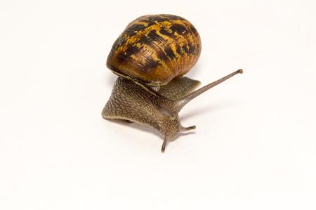 invertabrate:  Cornu aspersum Garden Snail on white back ground