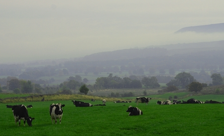 wensleydale: A misty Wensleydale cow field