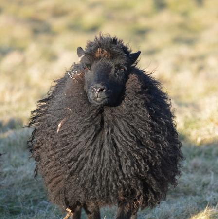 ovine: Hebrdean Ewe in a Field