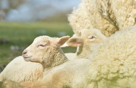 Ewe and Lambs Stock Photo