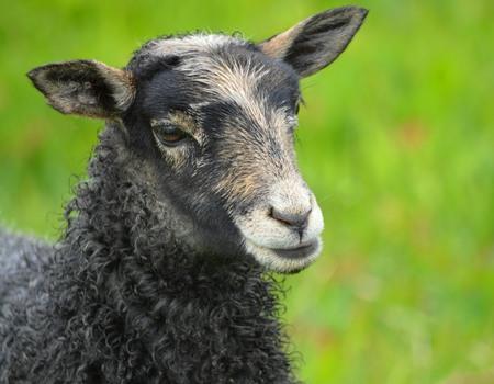 A Gotland Lamb