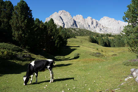 grazing cow on idyllic alp in the dolomites Stock Photo
