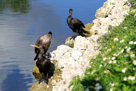 Double-crested cormorant sitting on river shore - Everglades National Park - Florida - USA