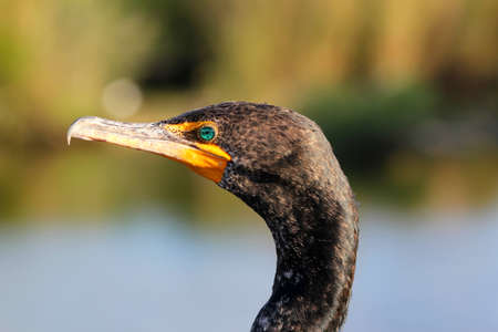 Portrait of the beautiful and majestic Double-crested Cormorant - shot in Everglades National Park - Florida