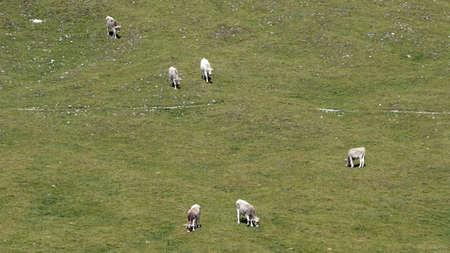 Grazing cows on Alp in the Dolomite Mountains / Mastle Alp / Puez Geisler Nature Park