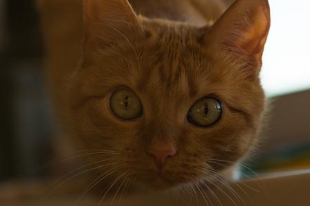 beautiful red cat looking at the camera closeup
