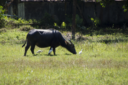 Cow grazing in the Meadow, there sit two black birds