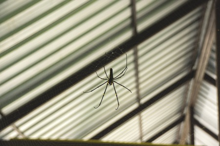 Black yellow Spider on the Web under the roof of the House