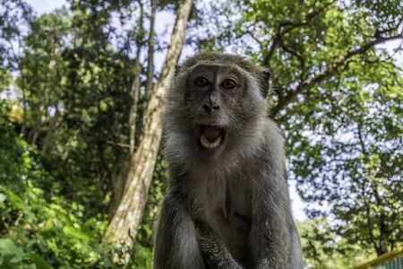 Female chimpanzee with open mouth and white teeth in the jungle Фото со стока