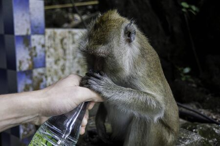 macaque drinks from a bottle in a persons hand