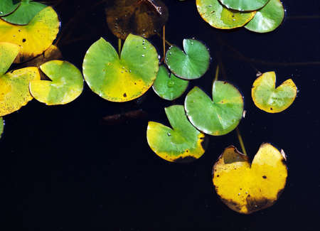 senescence: Green and yellow leaves in water