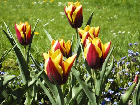 natue: Fresh colors of spring - asphodel flower in the garden