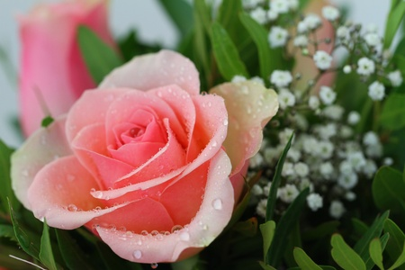 Pink rose with water drops, close up photo