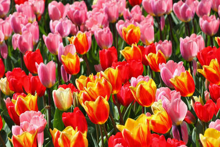 Colorful tulips in spring time, close up photo