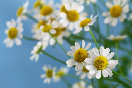 Chamomile flowers on blue background