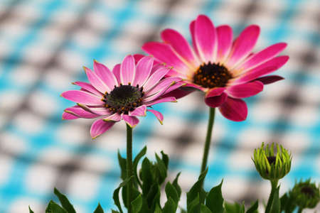 Two pink gerbera daisies with checkered cloth in the background
