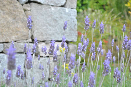 Lavender flowers lavender flowers lavender flowers Stock Photo