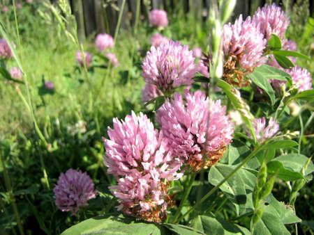 clover flower (Trifolium pratense)