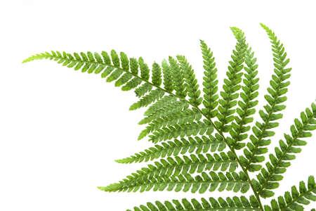 Fern Leaf photo