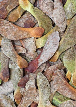 sicomoro: Sycamore sementi sfondo
