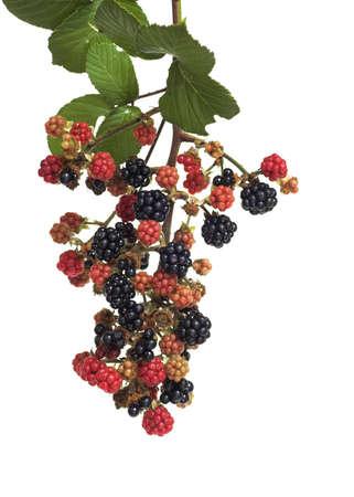 blackberry bush: Blackberries Stock Photo