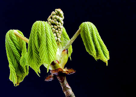 Horse Chestnut Bud photo