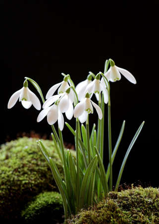 Snowdrops on a Black Background