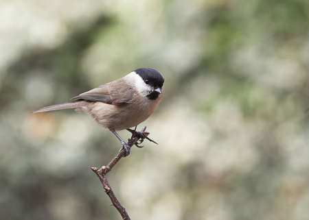 birdlife: Marsh Tit - Parus palustris Stock Photo
