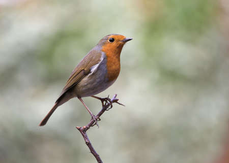Bird - European Robin