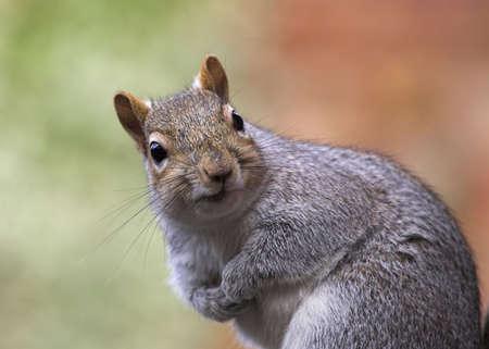 carolinensis: Grey Squirrel Closeup Stock Photo