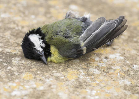 birdlife: Dead Bird - Great Tit